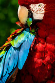 Close-up of preening macaw parrot