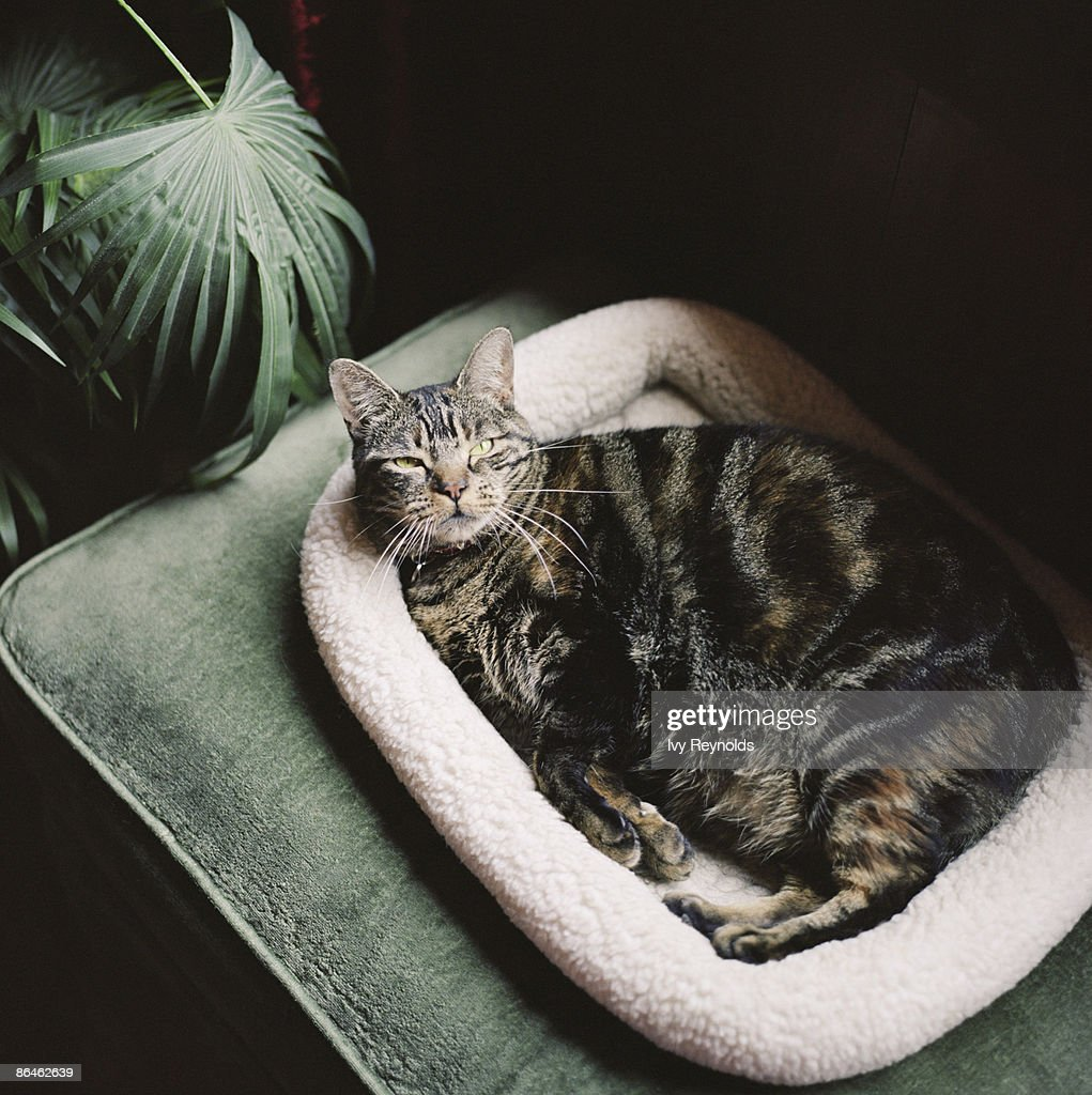 Pregnant cat laying in bed : Stock Photo