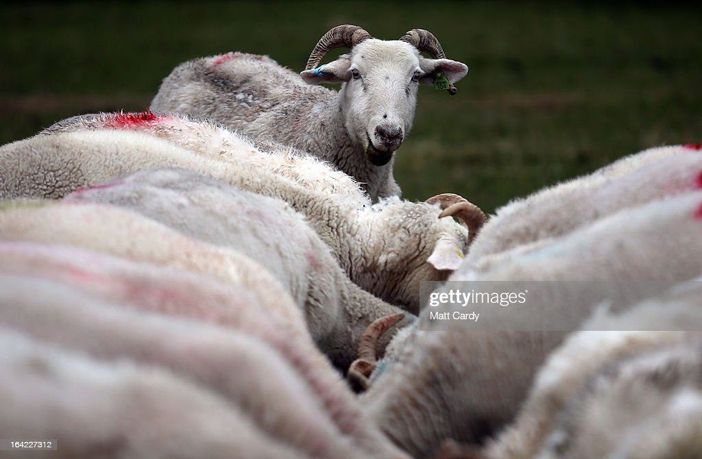 A pregnant ewe looks up during feeding as it waits to give birth on a farm in the Wiltshire village of Edington, on March 21, 2013 near Westbury, England. Despite the poor weather the lambing season, which normally runs from February to May, is well under way and many farmers across the UK are on the lookout for signs in their flocks of Schmallenberg disease, a virus which can result in congenital disorders and stillbirths when infection takes place during the early stage of pregnancy.