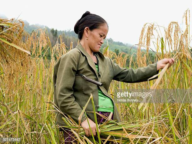A pregnant White Hmong ethnic minority woman harvesting glutinous rice using a sickle on an upland field Ban Hauywai Phongsaly province Lao PDR...