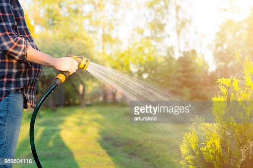 Pregnant woman watering green tree with hose. Gardening concept : Stock Photo