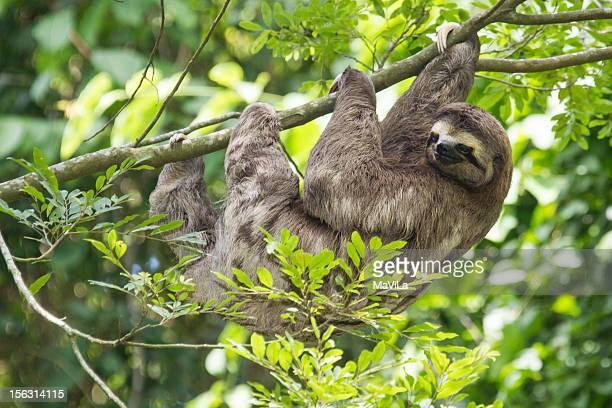 Preguiça-de-garganta-marrom