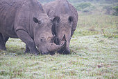 Southern White Rhinoceros grazing in the savannah