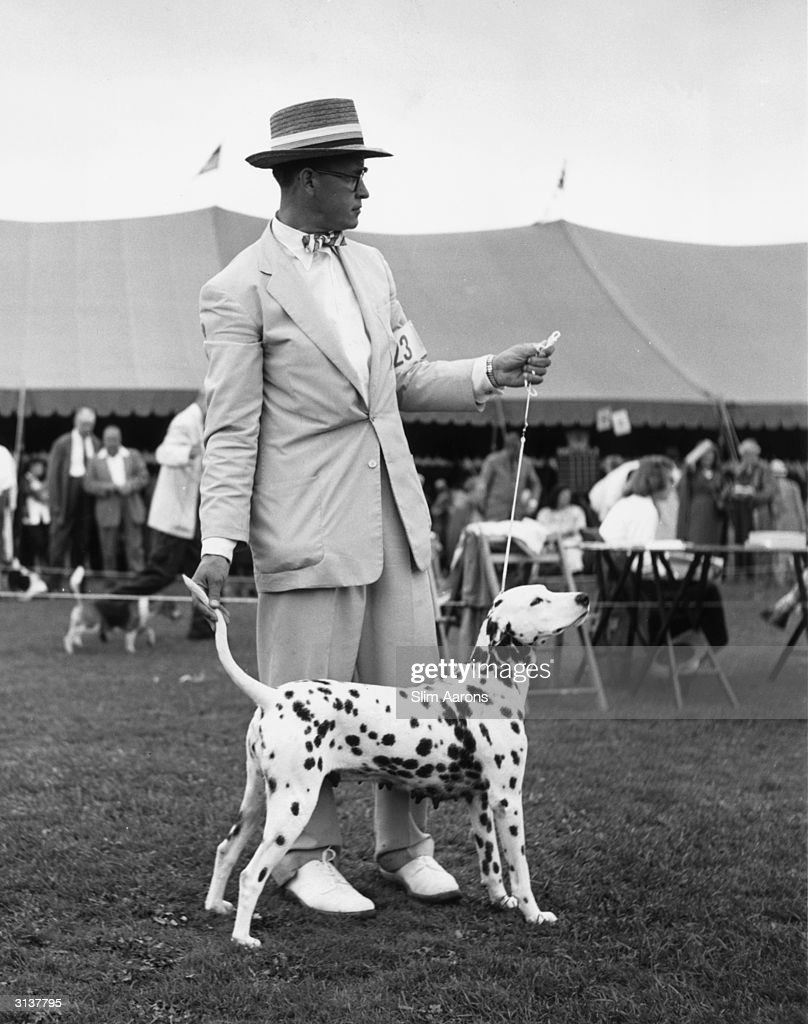 An entrant at the Westchester Kennel Club's 38th annual dog show holds the tail of his Dalmatian while she is competing in the show ring. The show is held at the Westchester Country Club, Rye, New York.