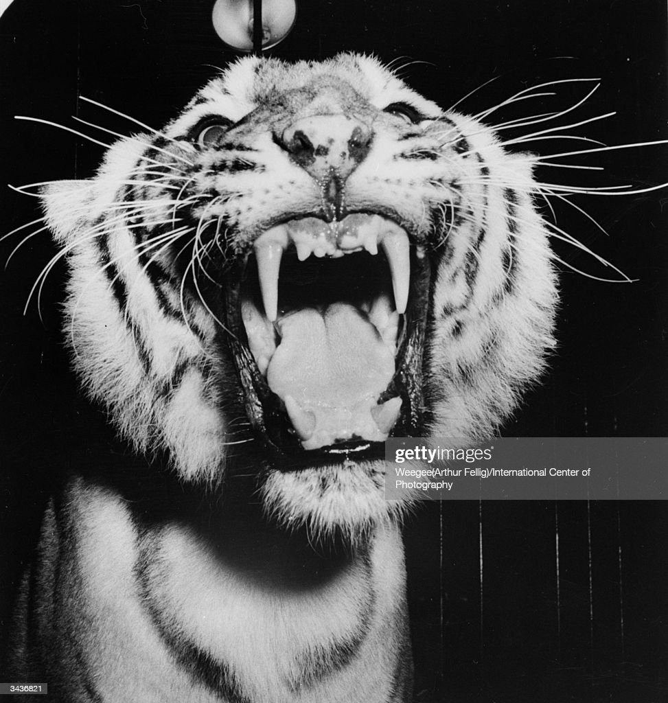 A circus tiger with jaws wide open, revealing a set of very sharp teeth. (Photo by Weegee(Arthur Fellig)/International Center of Photography/Getty Images)