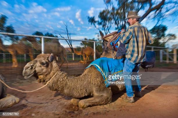 Preparation of a camel in Alice Spring