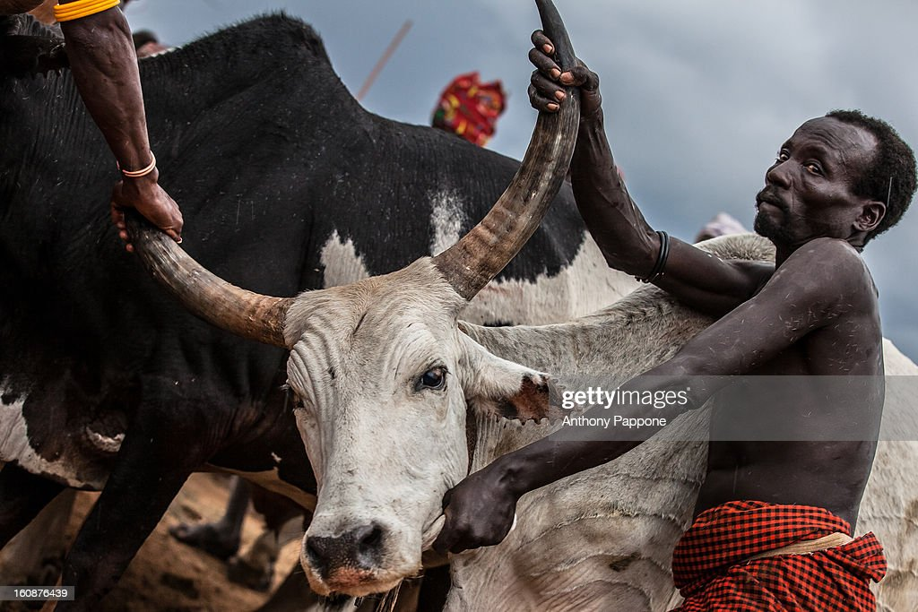 CONTENT] preparation of bulls for the bull jumping ceremony. Bull jumping ceremony is a rite of passage ceremony for men coming of age must be done before a boy is permitted to marry. The boy must jump the cows four times to be successful. This test is performed while naked except for a few cords bound across the chest as a symbol of the childhood he is about to leave behind him. On completion of this test, the young man joins the others boys who have recently passed the same test and who spend the next few months of their lives supervising these events in villages throughout the Hamar territory. The ceremonies end with several days of feasting, including the typical jumping dances, accompanied by as much sorghum beer as the bull-jumper's family can provide to the visitor.