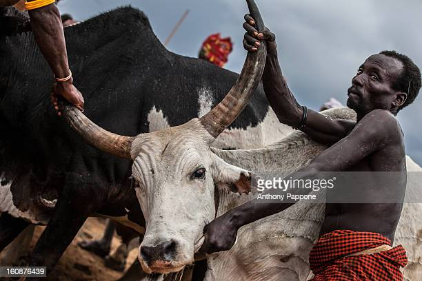 CONTENT] preparation of bulls for the bull jumping ceremony Bull jumping ceremony is a rite of passage ceremony for men coming of age must be done...