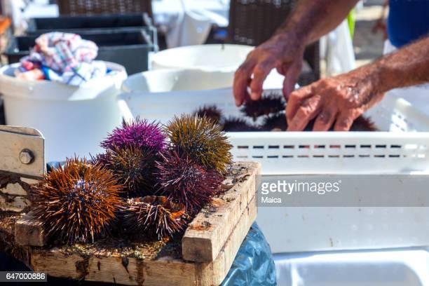 Preparing fresh sea urchins