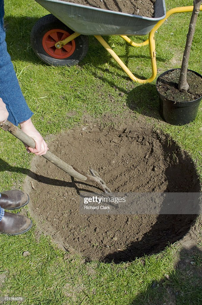 Preparing new home for cherry tree (Prunus). Step by step, image 4 of 15 : Stock Photo