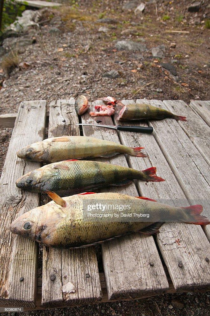 Preparing Perches : Stock Photo