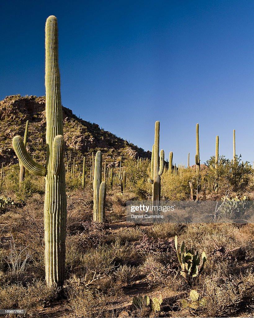 Presenting the State Flower of Arizona
