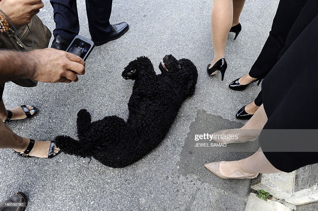 US President Barack Obama's family dog Sunny, a Portuguese water dog who arrived at the White House on August 19, 2013 and was born in June 2013, plays with journalists at the White House in Washington on September 9, 2013. AFP PHOTO/Jewel Samad