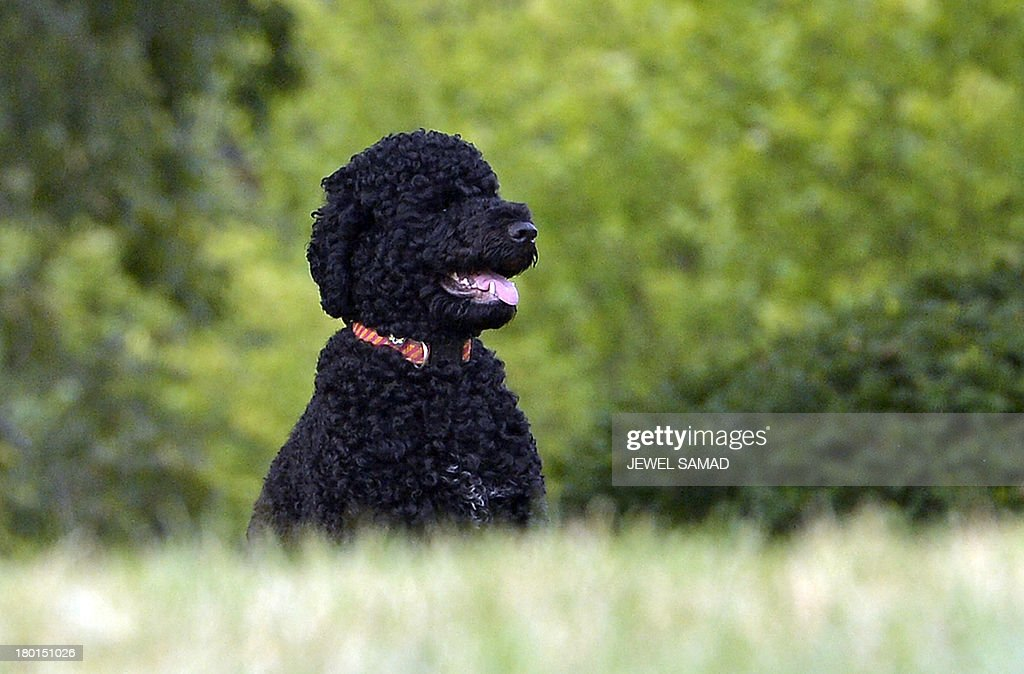 US President Barack Obama's family dog Sunny, a Portuguese water dog who arrived at the White House on August 19, 2013 and was born in June 2013, is seen on the North Lawn of the White House in Washington on September 9, 2013. AFP Photo/Jewel Samad