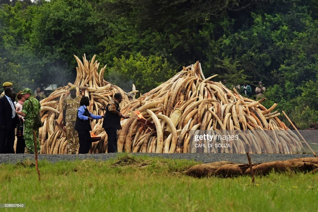 President of Gabon Ali Bongo sets a fire on an ivory stack at the Nairobi National Park on April 30, 2016. Kenyan President Uhuru Kenyatta set fire on April 30, 2016, to the world's biggest ivory bonfire, after demanding a total ban on trade in tusks and horns to end 'murderous' trafficking and prevent the extinction of elephants in the wild. / AFP / CARL