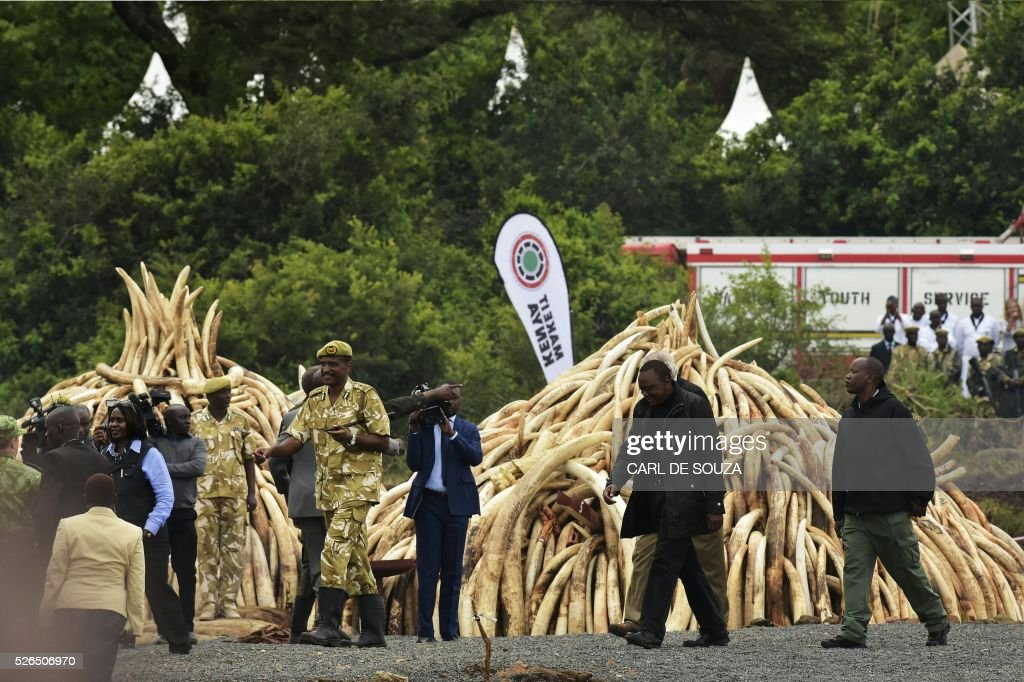 President Uhuru Kenyatta (2nd R) walks after lightning Ivory stacks at the Nairobi National Park on April 30, 2016. Kenyan President Uhuru Kenyatta set fire on April 30, 2016, to the world's biggest ivory bonfire, after demanding a total ban on trade in tusks and horns to end 'murderous' trafficking and prevent the extinction of elephants in the wild. / AFP / CARL