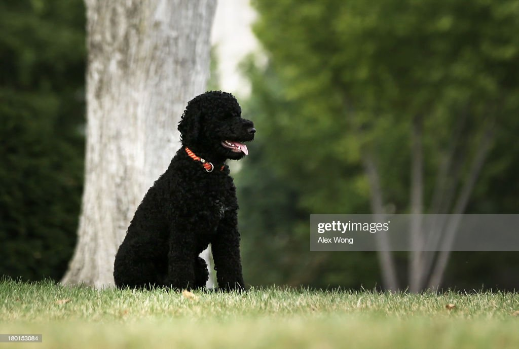 Presidential dog Sunny is seen on the North Lawn as she is brought out for a walk by her handler September 9, 2013 at the White House in Washington, DC. Sunny joined the Obama family on August 19, 2013.