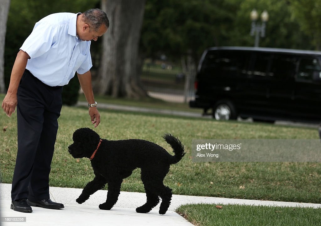 Presidential dog Sunny walks with her handler as she is brought out for a walk September 9, 2013 at the White House in Washington, DC. Sunny joined the Obama family on August 19, 2013.