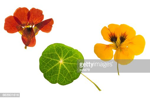 Pressed and dried brown, orange flowers nasturtium. Isolated : Stock Photo