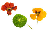 Pressed and dried brown, orange flowers and green leaf nasturtium (tropaeolum). Isolated on white background. For use in scrapbooking, floristry (oshibana) or herbarium.