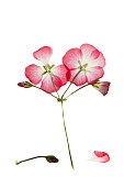 Pressed and dried bush with delicate pink  flower geranium or pelargonium. Isolated on white background.