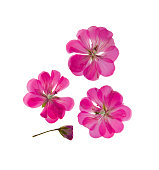 Pressed and dried delicate pink, lilac flowers and petals of geranium (pelargonium). Isolated on white background. For use in scrapbooking, pressed floristry or herbarium.