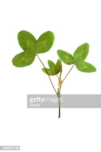 Pressed and dried leaf trifolium pretense or clover. : Stock Photo