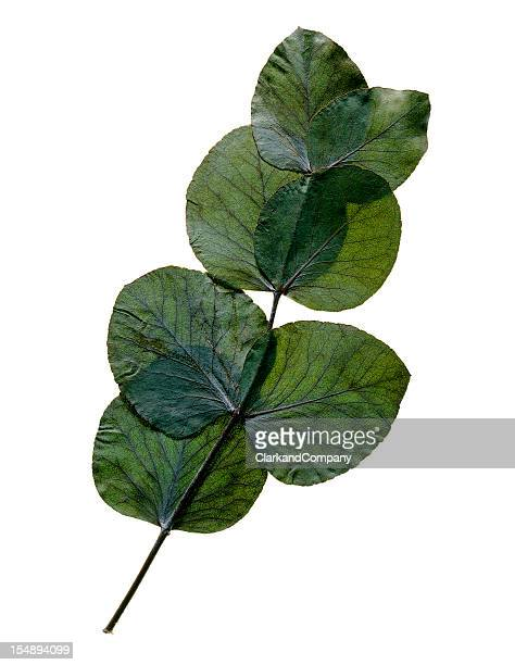 Pressed Eucalyptus Leaves Isolated On White
