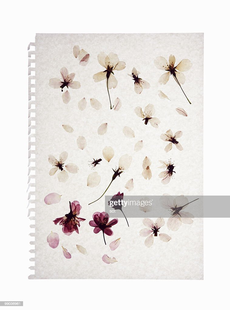Pressed flower of cherry blossom on paper