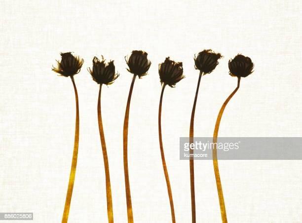 Pressed plant of dandelion fluff