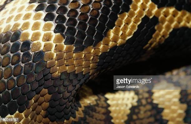 Close up of the skin of a carpet python.