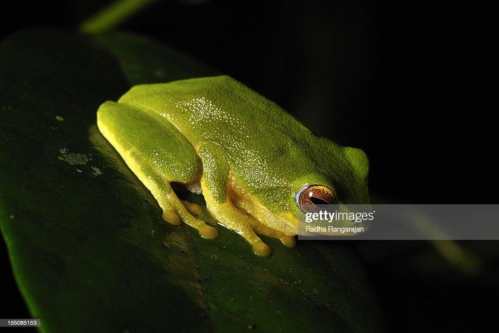 Pretty Bush Frog : Stock Photo