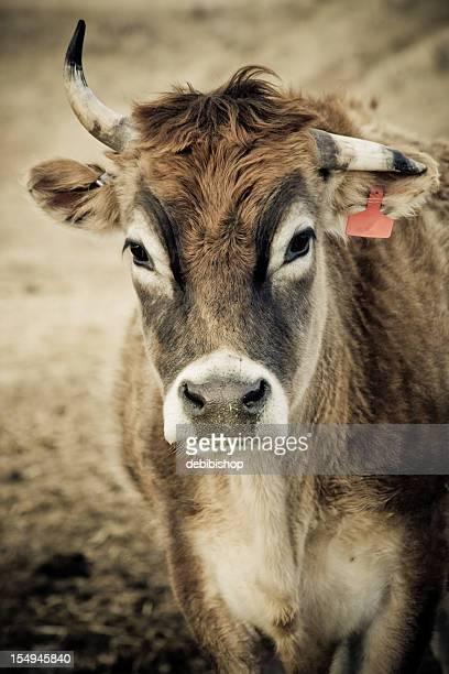 Jolie vache avec cornes