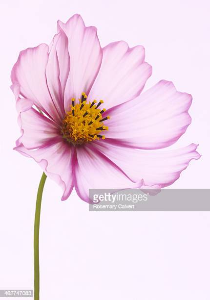 Pretty pink and white cosmos flower