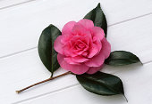 Pretty pink camellia with water drops on white.