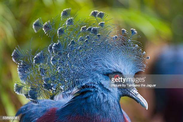 Pretty Victoria crowned pigeon
