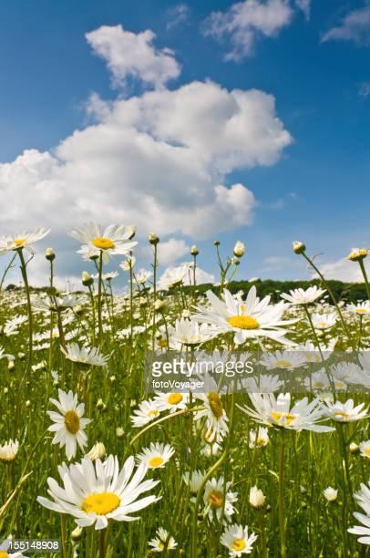 Pretty wild flowers in summer daisy meadow