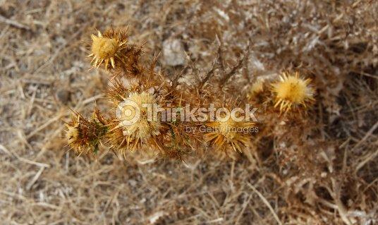 Pretty yellow thistle flower in the fiel stock photo thinkstock carthamus arborescens pretty yellow thistle flower in the fiel stock photo mightylinksfo
