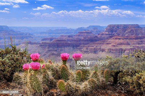 Prickly Pear Cactus Blooms on the Grand Canyon Rim. : Stock Photo