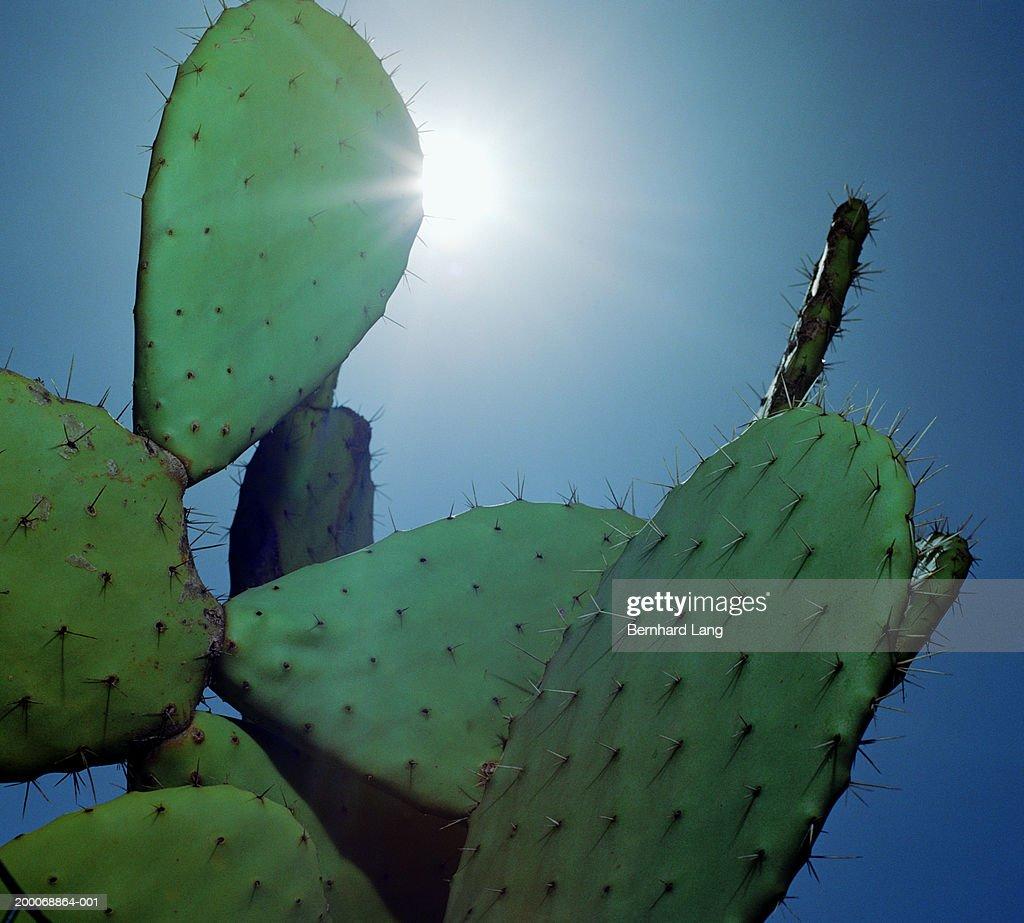 Prickly Pear cactus (Opuntia ficus-indica), close-up