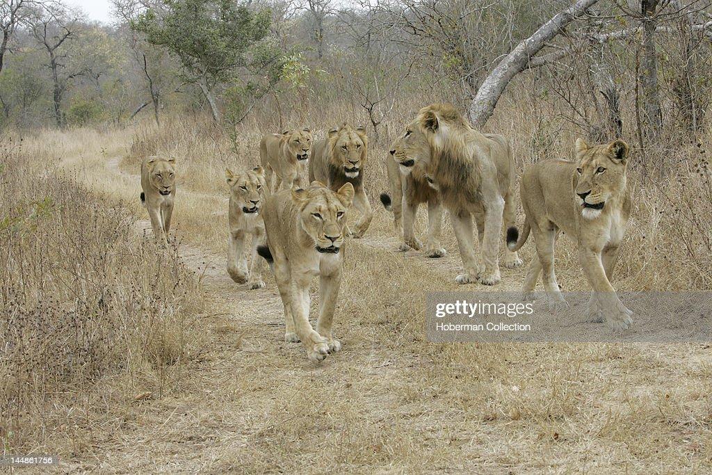Pride of Lions Kirkmans Camp Safari Lodge Mala Mala Kruger National Park South Africa Africa