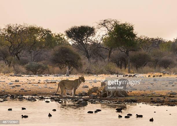 Pride of lions -Panthera leo- drinking at the Klein Namutoni waterhole, Etosha National Park, Namibia