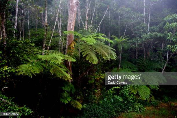 Primary growth rainforest with giant ferns