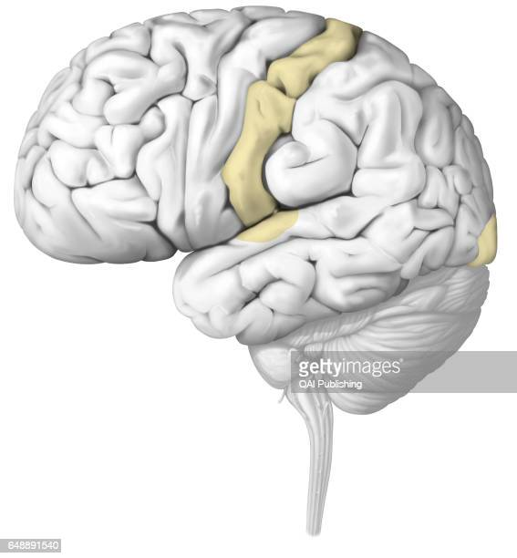 Primary sensory cortical area The nerve impulses are analyzed in the zones of the brain specific to each sense Injury of a sensory organ can...