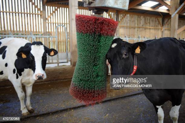 Prim'Holstein cow rubs its head to a rubber massage brush at a hightech dairy farm in Val d'Ize western France on February 18 2014 French breeder...