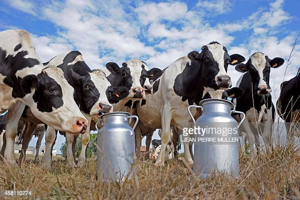 Prim'Holstein cows stand by milk churns set in field in SainteColombeenBruilhois southwestern France on September 15 at a dairy farm In France and...
