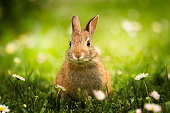 coniglietto selvatico nel prato verde con le margherite