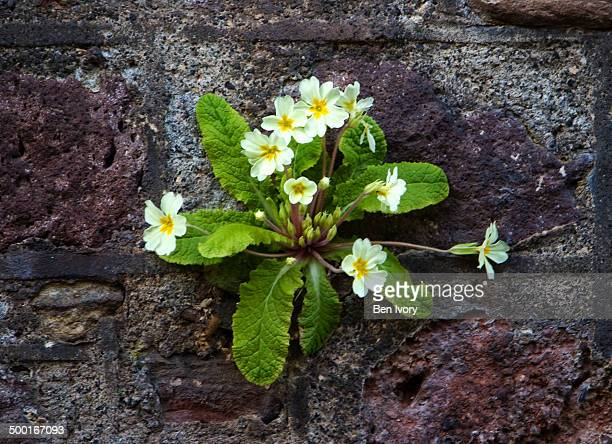 Primrose growing from stone wall