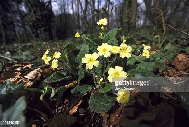 primrose primula vulgaris leigh woods, bristol, avon, uk