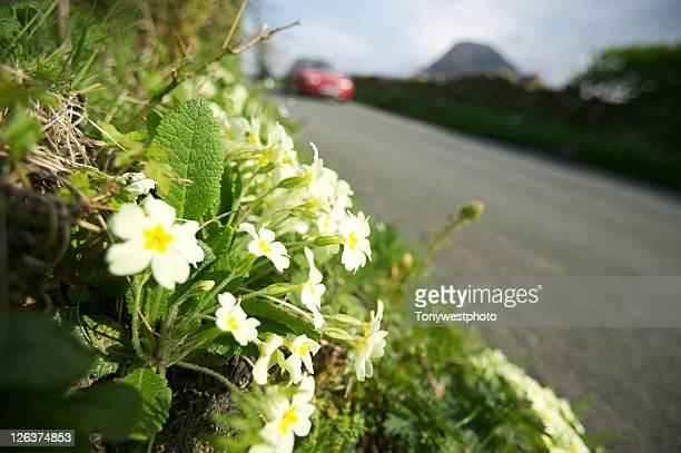 Primroses alongside country lane, Loweswater.